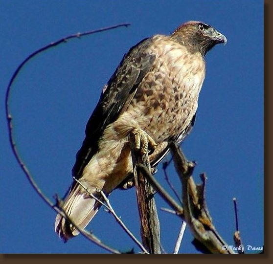 Red-tailed Hawk, Adult