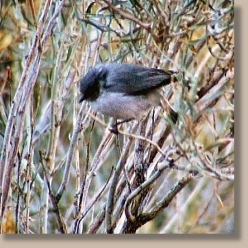 Bushtit flying along dry creek bed by Mercur Canyon Road 10-12-03 © NJDavis