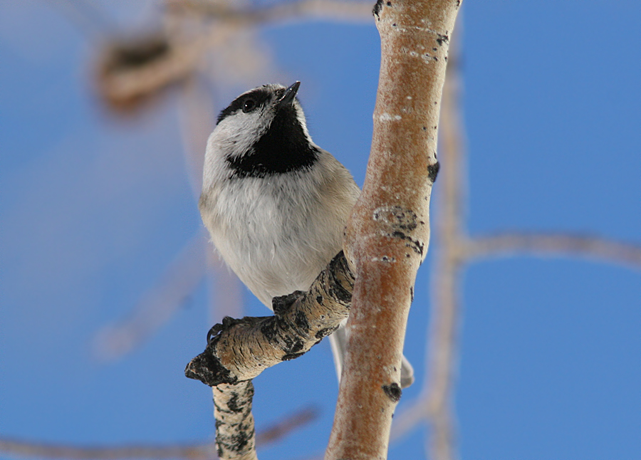 chickadee at Alta