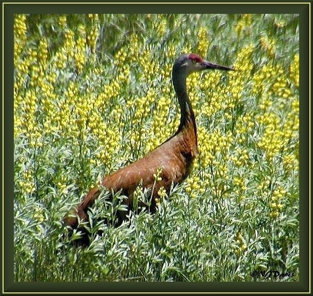 Stained Sandhill Crane