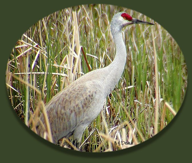 Sandhill Crane with Fresh Plumage at Bear River MBR, Davis County, Utah, 04-18-04 © N J Davis, Gruidae Grus Canadensis