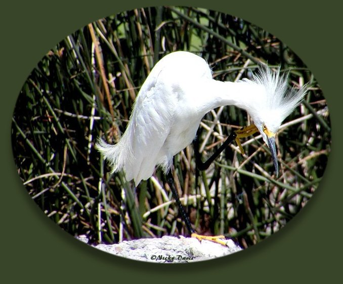 Snowy Egret with head feathers raised