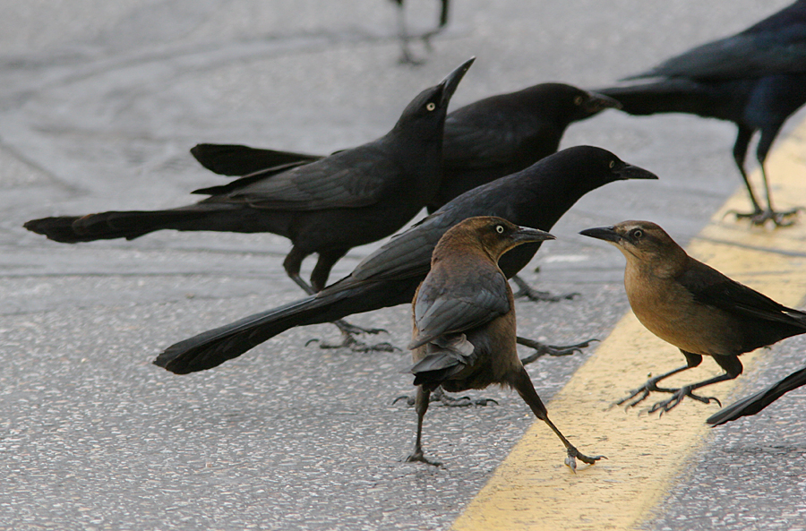 male and female grackles