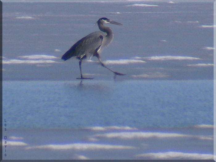 Great Blue Heron walking on ice