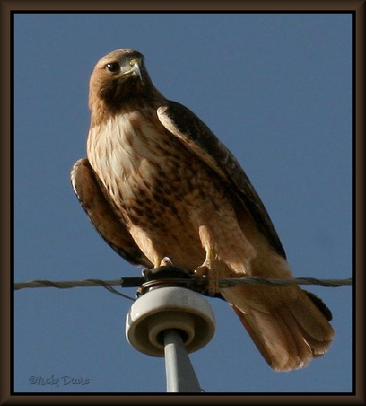 Light Morph Adult Red-tailed Hawk