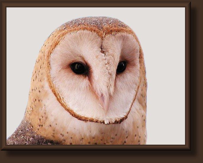 utah birds   barn owls 688 x 550 · jpeg