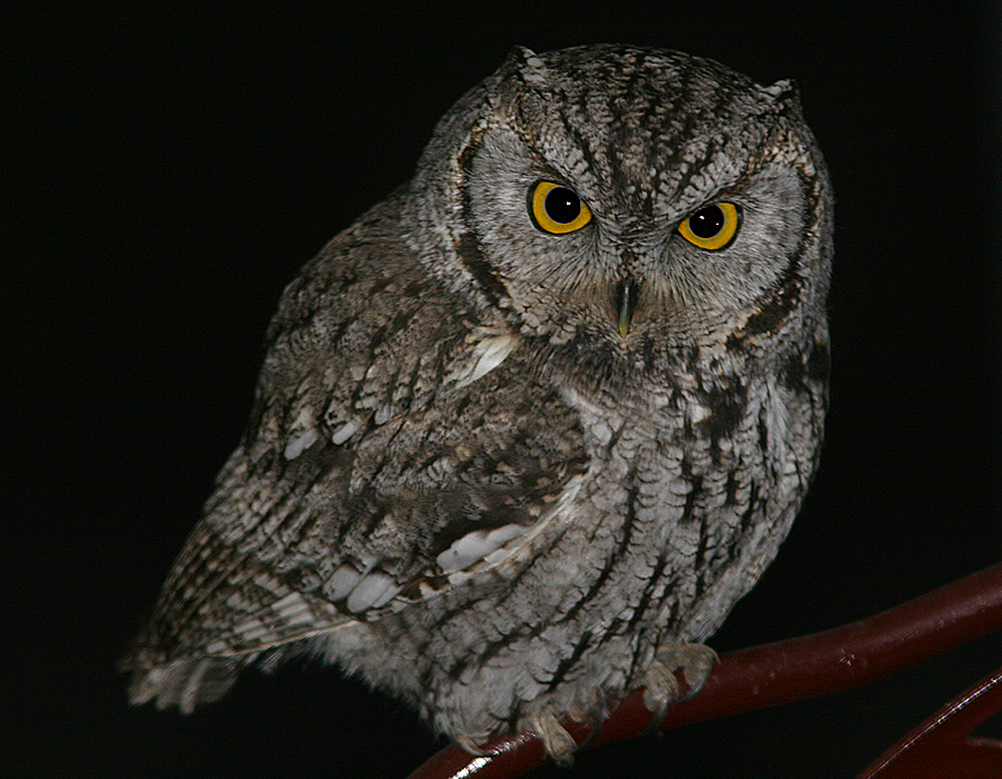 Photos of birds of Utah, Western Screech Owl, 1. In the ...