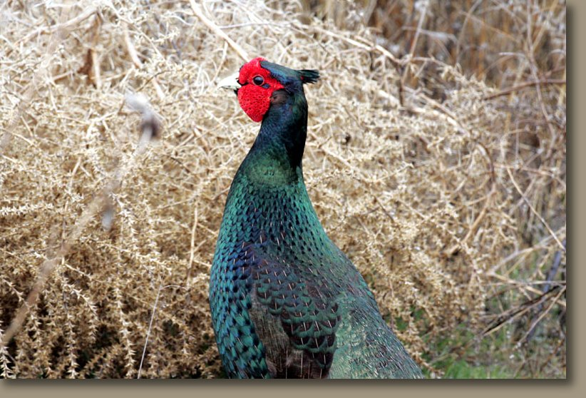 Green pheasant with bug in his beak