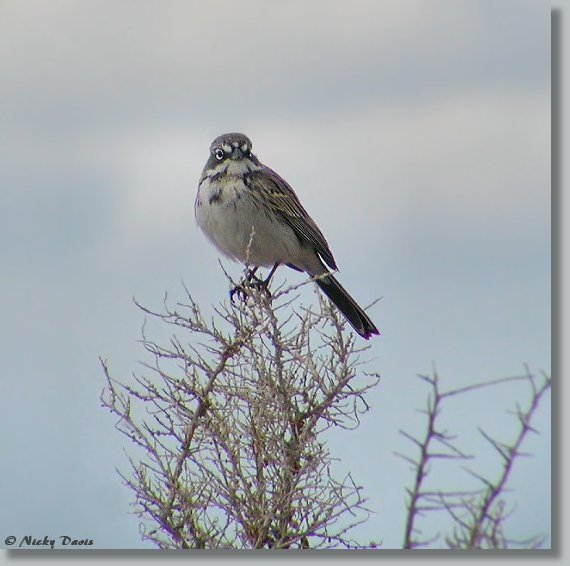 Photo of Sage Sparrow