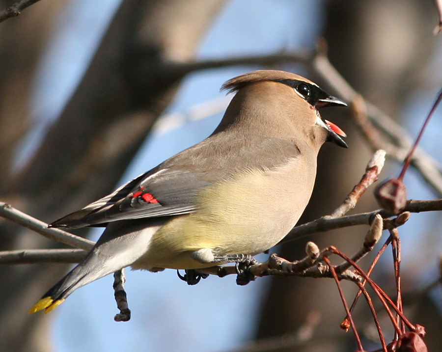 Cedar Waxwing feeding on ornamental pear tree fruit.