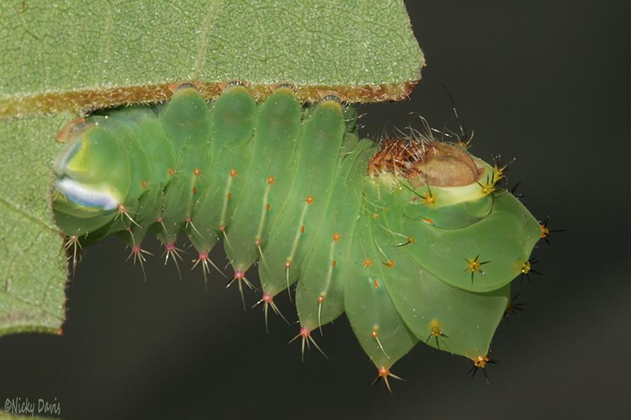 #1 3rd instar