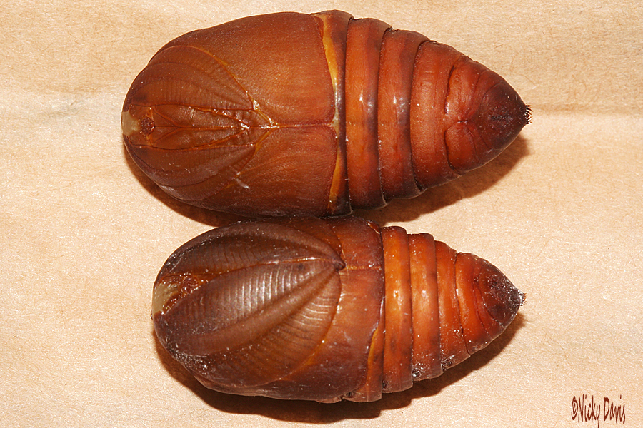 male and female pupae 33mm, 28 mm