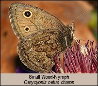 click for photos of Small Wood-Nymph, Cercyonis oetus charon