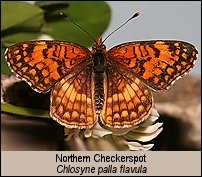 click for photos of Northern Checkerspot - Chlosyne palla flavula