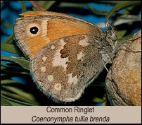 click for photos of Adult Common Ringlet