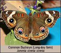 "Click for photos of ""Long Day form"" Common Buckeye"