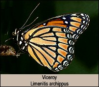 Click for photos of Viceroy