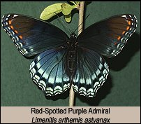 click for photos of Red-Spotted Purple Admirals