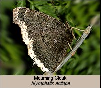Click for photos of Mourning Cloak - Nymphalis antiopa