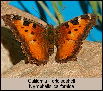 click for photos of Nymphalis californica - California Tortoiseshell