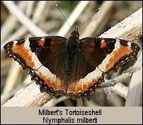 click for photo of Milbert's Tortoiseshell - Nymphalis milberti