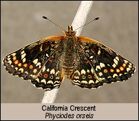 click for photos of adult butterfly
