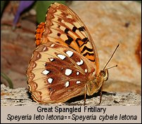 click for photos of male Great Spangled Fritillary