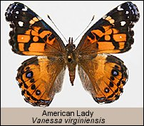 click for photos of Vanessa virginiensis