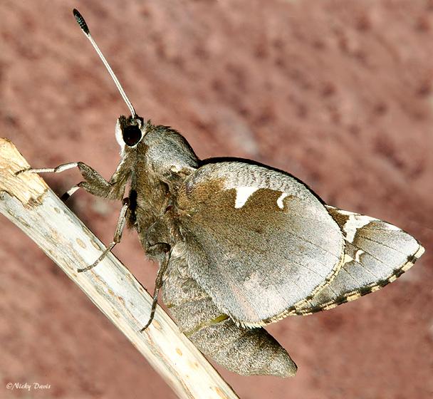 Yucca Moth Range Wild Utahphotos...