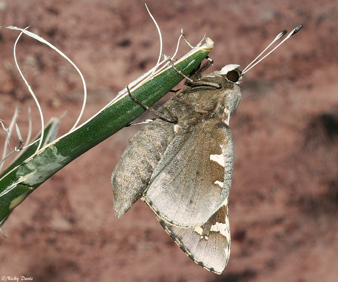 Yucca Moth Range Utah Butterfly ...