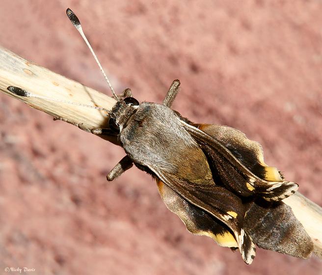 Yucca Moth Range Wild Utahphotos of Yuc...