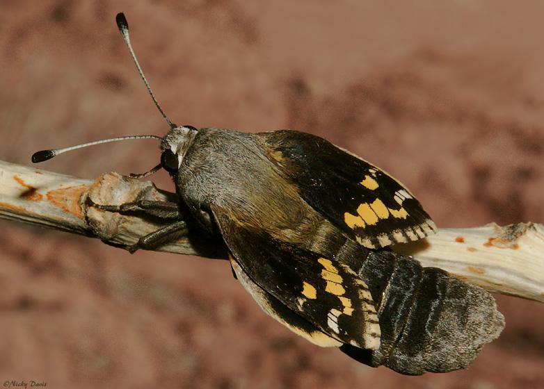 Yucca Moth Range Wild Utah photo...