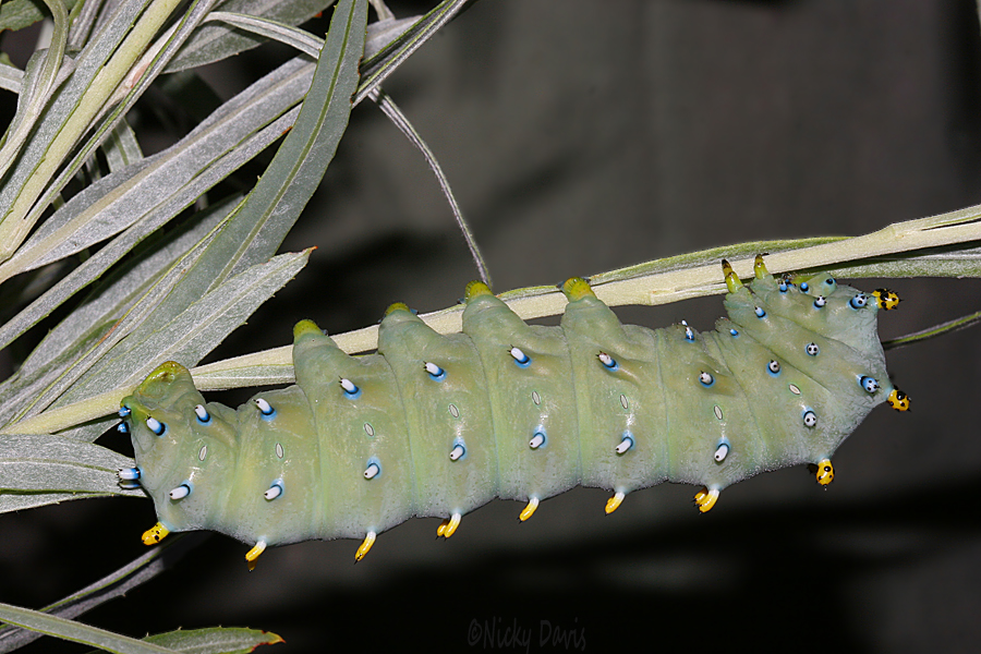 5th instar day 9