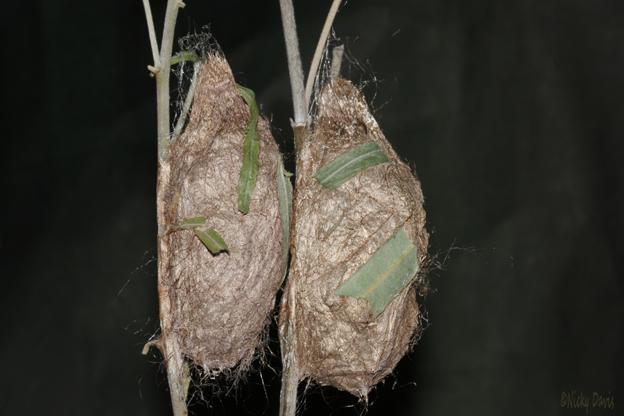 hyalophora gloveri