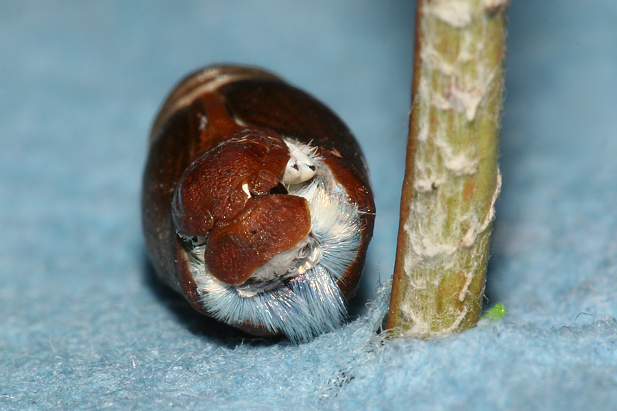 pupa just splitting open