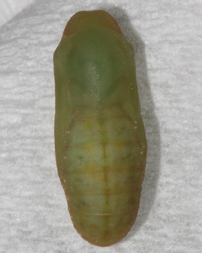 Pupa formed 10th of October 2008