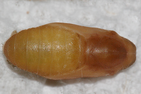 ventrall view of 8 day old pupa