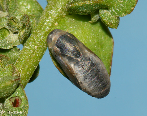 Pupa 23 minutes before butterfly emergence
