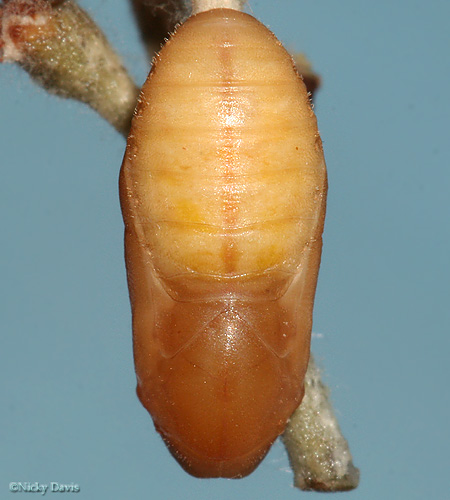 lupini pupa on October 17, 2006