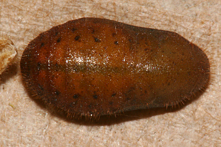 pupa 12 August 2011 6 P.M.