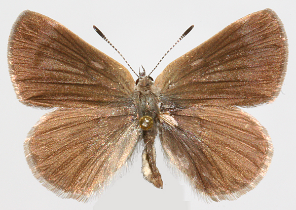 male upperwing