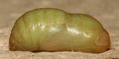 lateral view of newly formed pupa