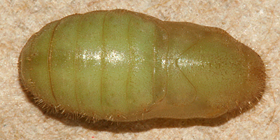 dorsal view of newly formed pupa