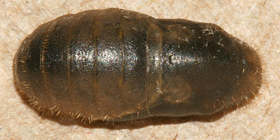 dorsal view of pupa on 3 July 2009