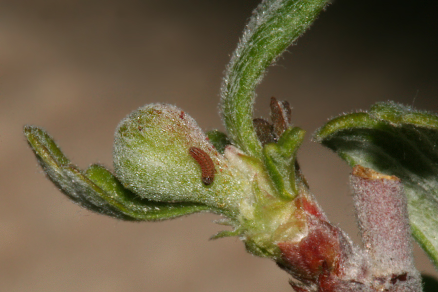 1 1/2 mm long placed on a flower  bud