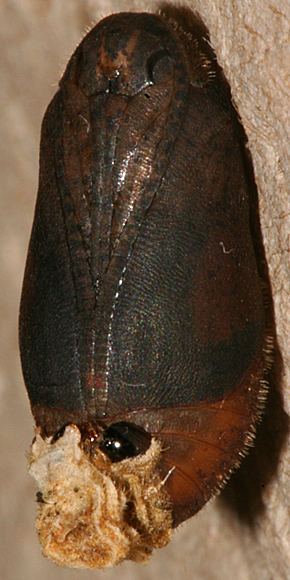 female pupa 2 June 2013