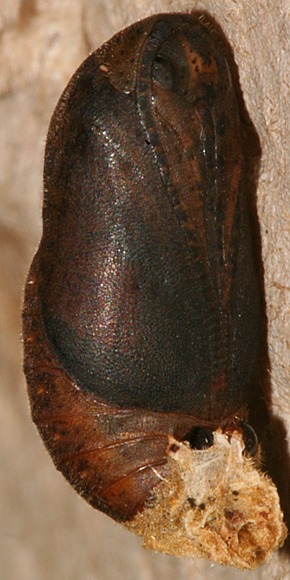 #2 Female pupa