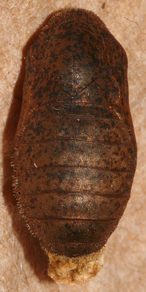 female pupa 50 minutes before emerging