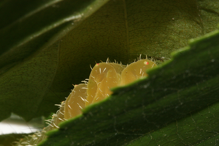 larva changing color