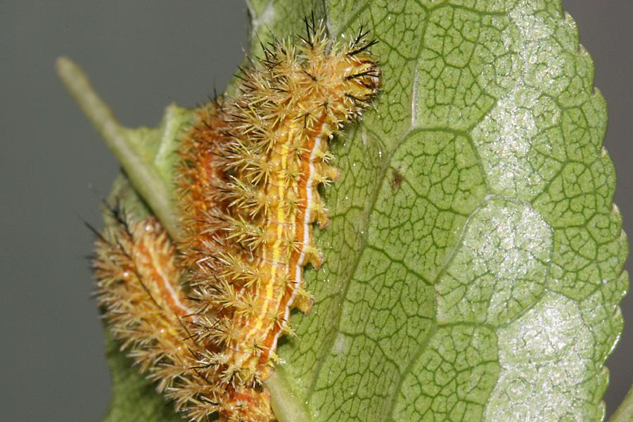 15 mm 3rd instar